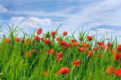 Amapolas florecientes Imagen de archivo libre de regalías
