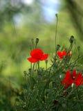 Amapolas florecientes imagenes de archivo