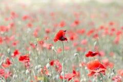 Amapolas florecientes del fondo Fotos de archivo libres de regalías