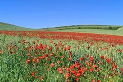 Amapolas florecientes en campo de trigo Foto de archivo