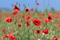 Amapolas florecientes en un campo soleado Fotografía de archivo