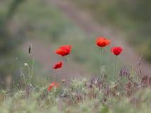 Amapolas florecientes salvajes imagen de archivo
