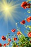 Amapolas hermosas teniendo en cuenta el sol poniente contra los vagos Imagen de archivo libre de regalías