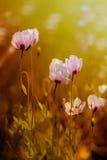 Amapolas inusuales preciosas Imagenes de archivo