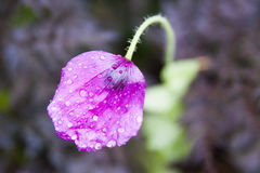 Amapolas púrpuras Imagen de archivo