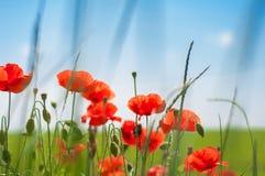 Amapolas Poppy Buds Are Awakening en el campo de la mañana Fotos de archivo