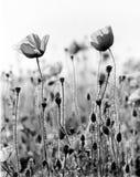Amapolas que crecen en campo Imagenes de archivo