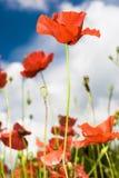 Amapolas rojas Imagenes de archivo