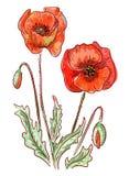Amapolas rojas. Fotografía de archivo
