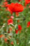 Amapolas rojas Foto de archivo libre de regalías