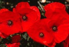 Amapolas rojas Imagen de archivo libre de regalías