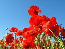 Amapolas rojas Imagen de archivo