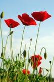 Amapolas rojas   Fotografía de archivo