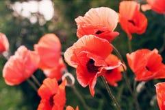 Amapolas rojas Fotografía de archivo libre de regalías