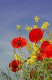 Amapolas rojas agradables Foto de archivo