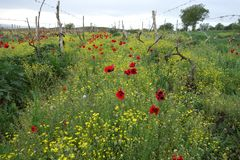 Amapolas rojas de la primavera salvaje que dispersan en el campo rural imagen de archivo libre de regalías