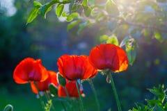 Amapolas rojas del jardín al tragaluz, región de Tver, Rusia Imagen de archivo
