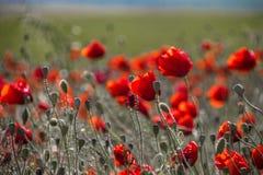 Amapolas rojas del verano divertido fotos de archivo