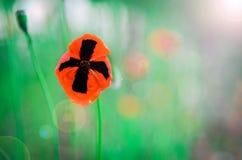 Amapolas rojas e hierba verde Imagen de archivo libre de regalías