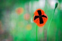 Amapolas rojas e hierba verde Fotografía de archivo libre de regalías