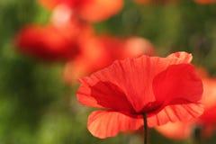 Amapolas rojas e hierba verde Foto de archivo