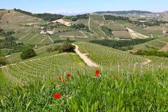 Amapolas rojas e hierba verde en las colinas de Piamonte, Italia. Fotografía de archivo