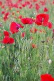 Amapolas rojas en campo Foto de archivo