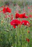 Amapolas rojas en campo Imagenes de archivo