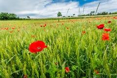 Amapolas rojas en campo verde en verano Imagen de archivo
