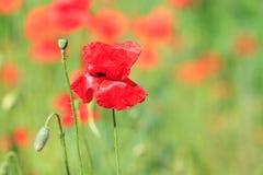Amapolas rojas en el campo Imagen de archivo libre de regalías