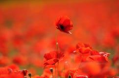 Amapolas rojas en el campo Fotos de archivo