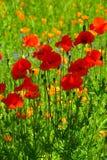 Amapolas rojas en el campo de otras amapolas Imagen de archivo