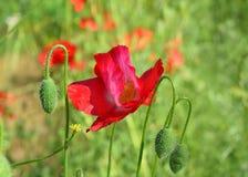 Amapolas rojas en el campo de otras amapolas Foto de archivo libre de regalías