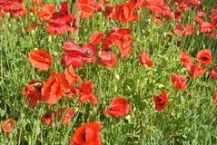 Amapolas rojas en el campo de otras amapolas Imágenes de archivo libres de regalías