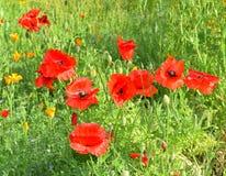 Amapolas rojas en el campo de otras amapolas Imagenes de archivo