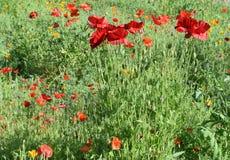 Amapolas rojas en el campo de otras amapolas y flores Fotografía de archivo libre de regalías
