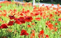 Amapolas rojas en el campo de otras amapolas y flores Imagen de archivo