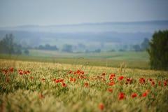 Amapolas rojas en el prado fotos de archivo