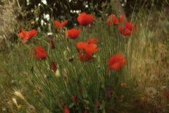 Amapolas rojas en la hierba verde Foto de archivo libre de regalías