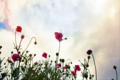 Amapolas rojas en la hierba verde Fotos de archivo libres de regalías