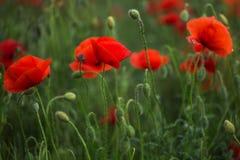 Amapolas rojas en la hierba verde que florece en campo Primer Fotos de archivo