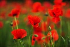 Amapolas rojas en la hierba verde que florece en campo Primer Foto de archivo libre de regalías