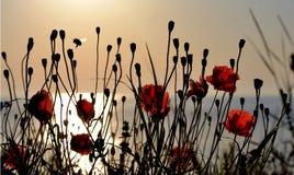 Amapolas rojas en la orilla del mar por la mañana Foto de archivo