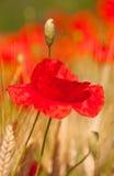 Amapolas rojas en los campos de grano Foto de archivo libre de regalías