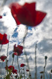 Amapolas rojas en prado Fotos de archivo