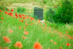 Amapolas rojas en prado soleado del verano Imagen de archivo