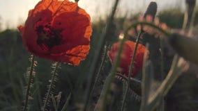 Amapolas rojas en salida del sol almacen de metraje de vídeo