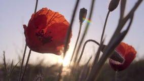 Amapolas rojas en salida del sol metrajes