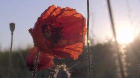 Amapolas rojas en salida del sol almacen de video