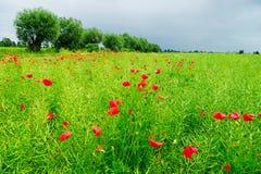 Amapolas rojas en un campo Foto de archivo